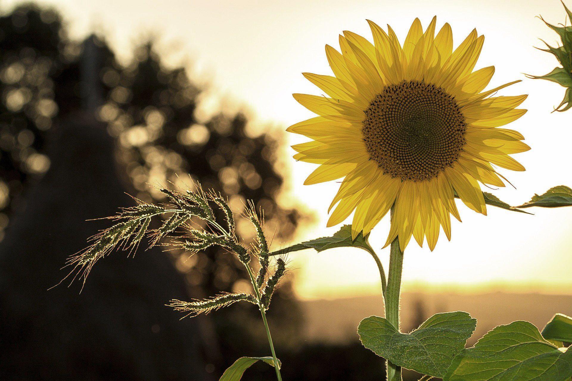 Eine Sonnenblume auf einem Feld in der Dämmerung